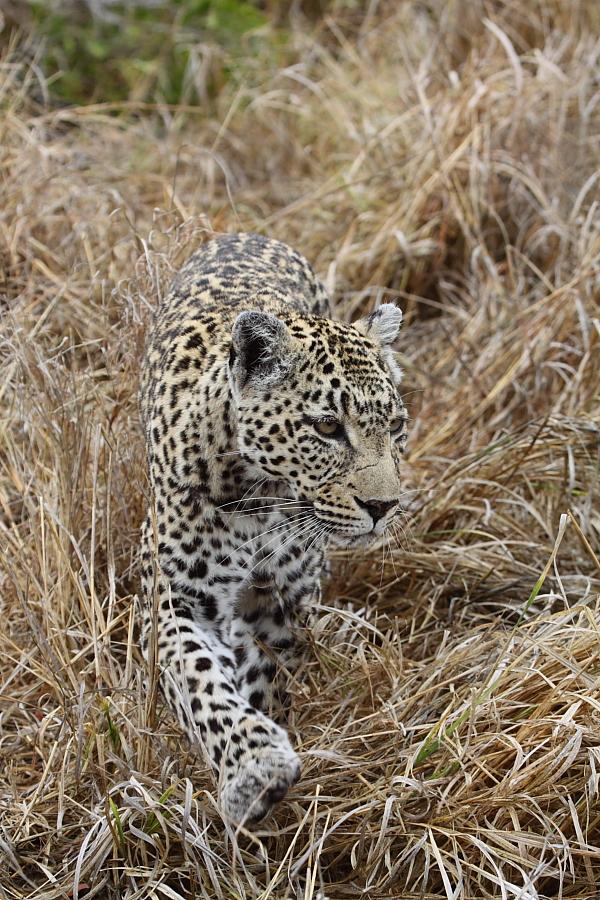 leopard on safari game drive at sabi sabi