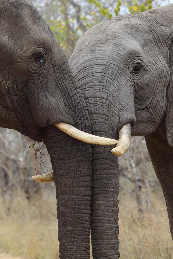 two elephant bulls