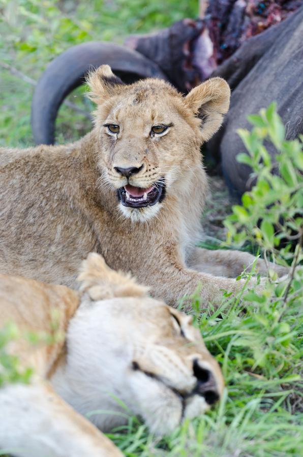 southern pride on a buffalo kill at sabi sabi