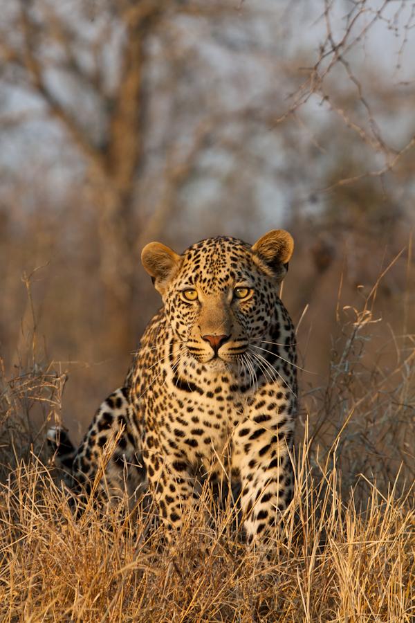 leopard stalking at sabi sabi