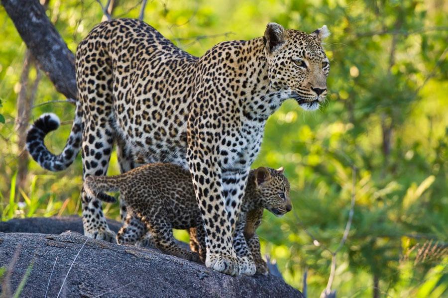 леопард самка картинки грязная она