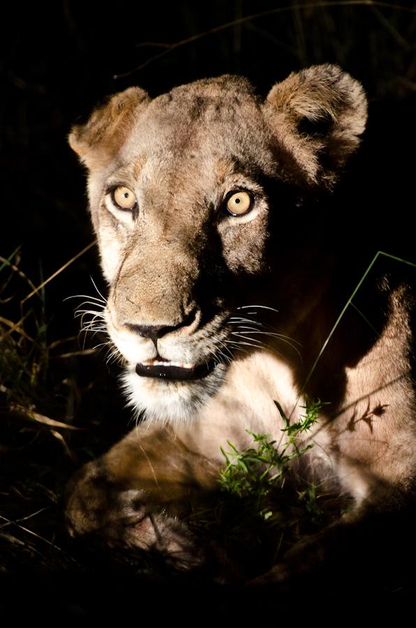 Southern pride lioness at Sabi Sabi