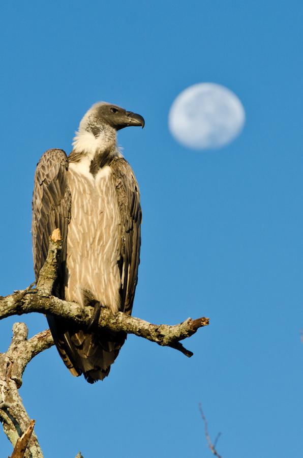 vulture while on safari game drive at sabi sabi