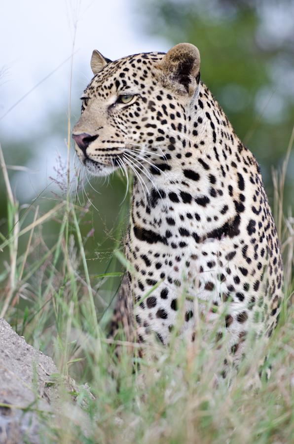 male leopard at sabi sabi luxury safari lodges