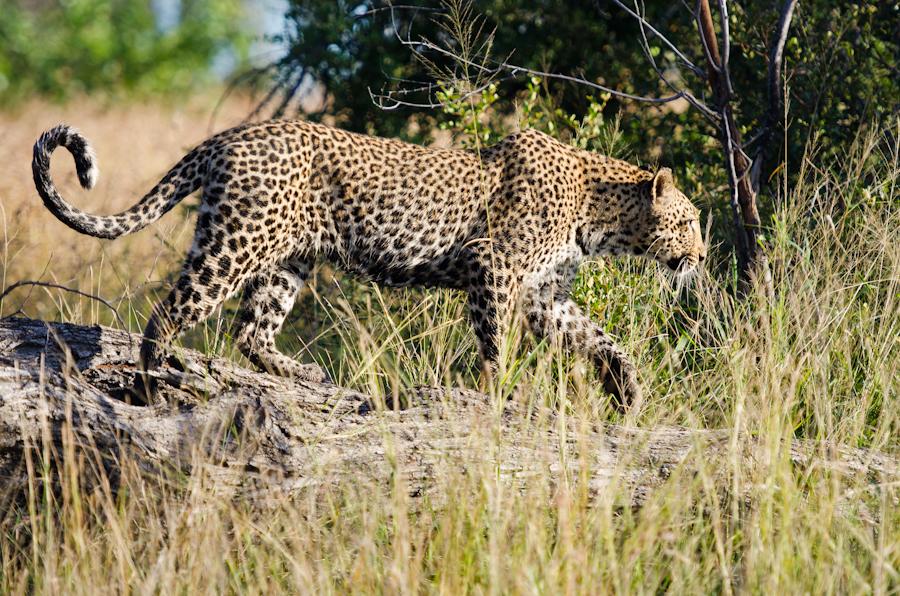 Leopards In Action Sabi Sabi Private Game Reserve Blog