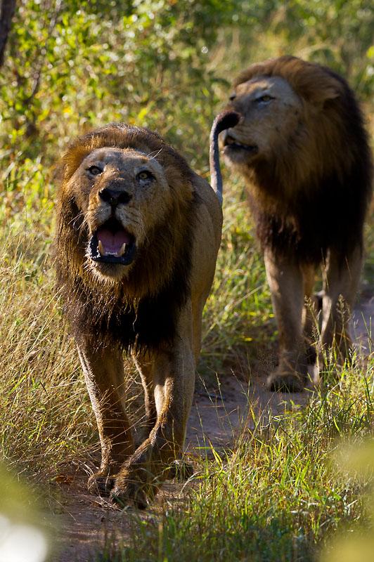 Lion roar while on safari game drive at Sabi Sabi