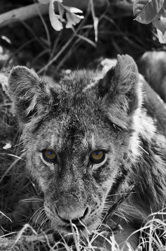 Southern Pride lion cub at Sabi Sabi