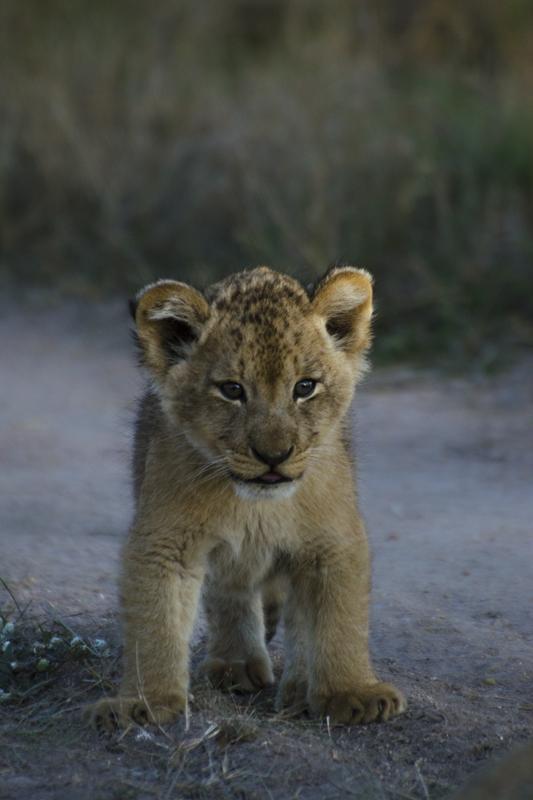 learning lion cub at sabi sabi