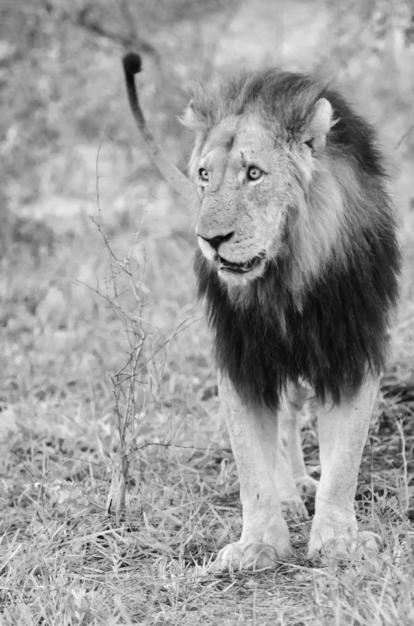 Mapogo male lion while on safari at Sabi Sabi Private Game Reserve