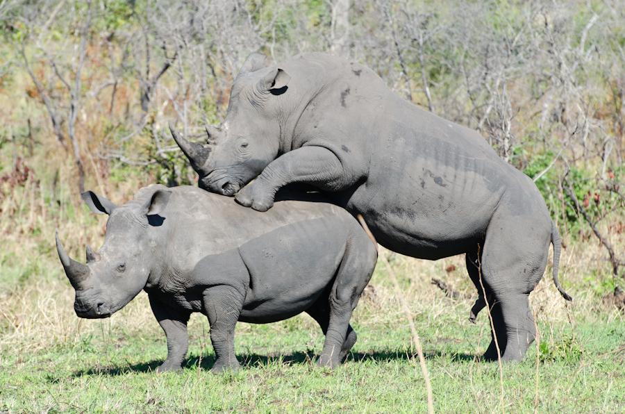 Rhinos mating sabi sabi private game reserve blog - Beatufiol cock peicther ...