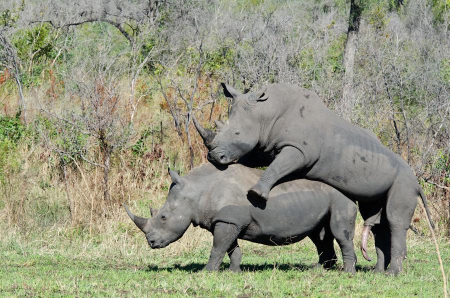 Rhinos mating while on safari at Sabi Sabi Private Game reserve