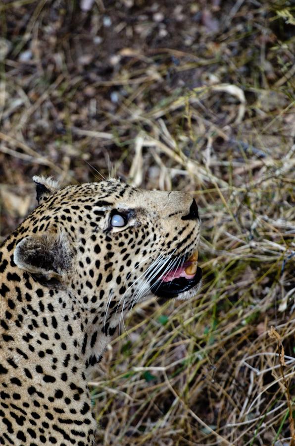 sandriver leopard while on safari at Sabi Sabi