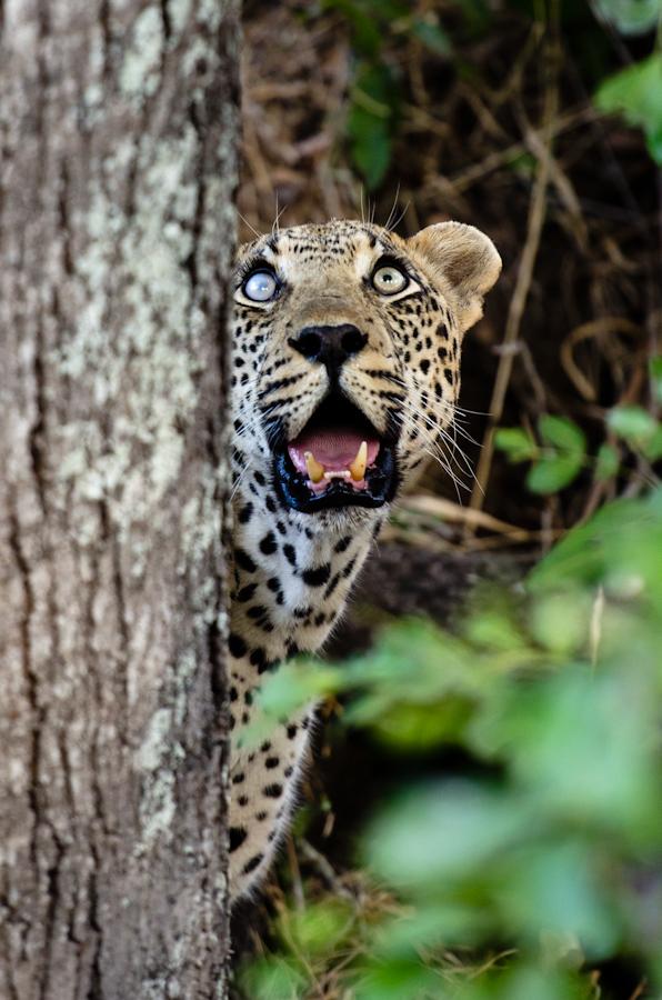 sandriver leopard while on safari at Sabi Sabi Private Game Reserve
