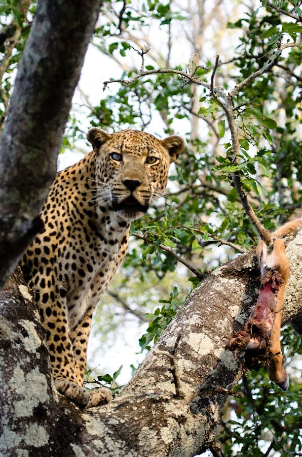 sandriver leopard in a tree with a kudu kill while on safari at Sabi Sabi