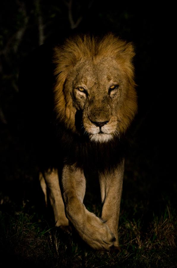 Kruger male lion at Sabi Sabi
