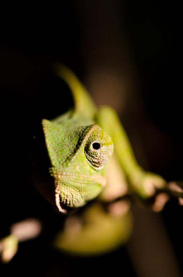 chameleon Sabi Sabi Photography