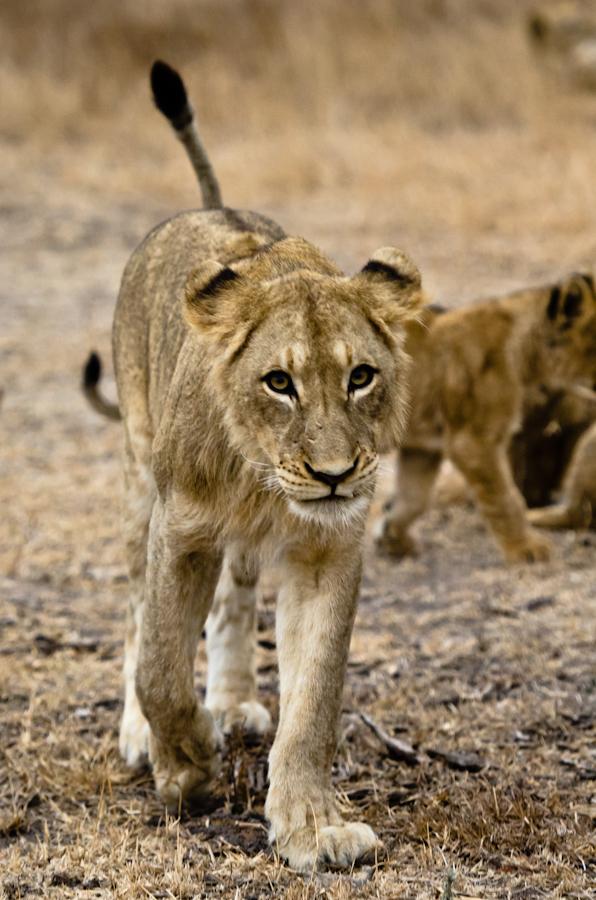 southern pride lions at sabi Sabi