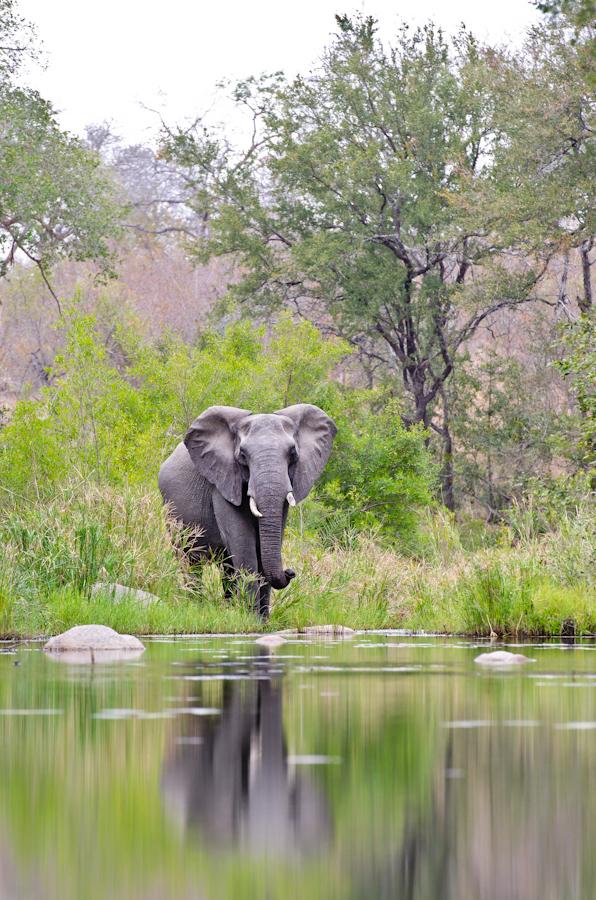 elephant at waterhole while on safari at sabi sabi
