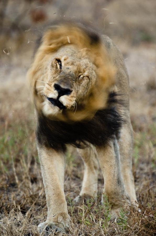 lion at sabi sabi