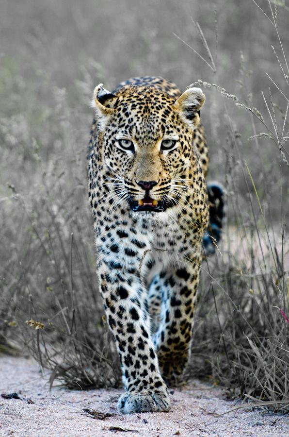 leopard marking territory at Sabi Sabi