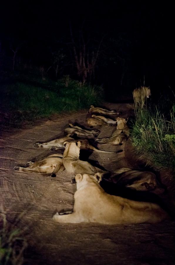lion in the road at sabi sabi