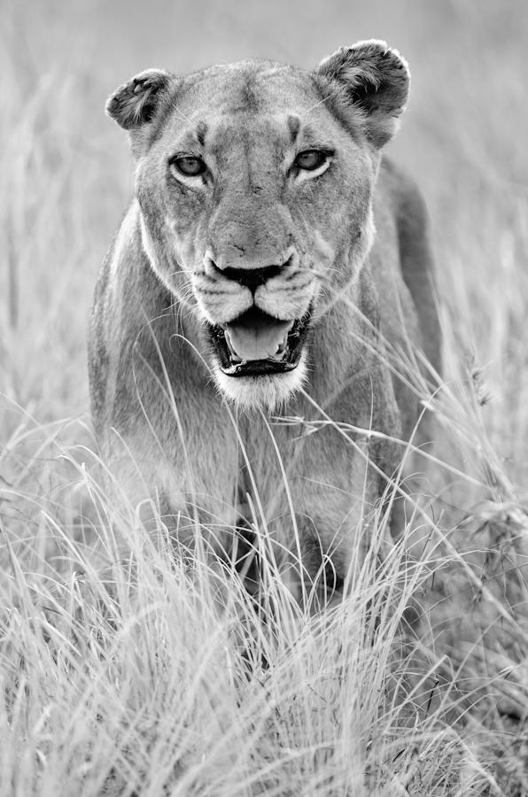 lioness at sabi sabi