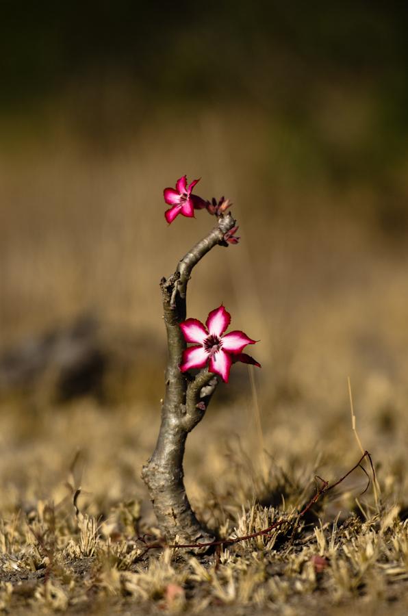 impala lilly at sabi sabi