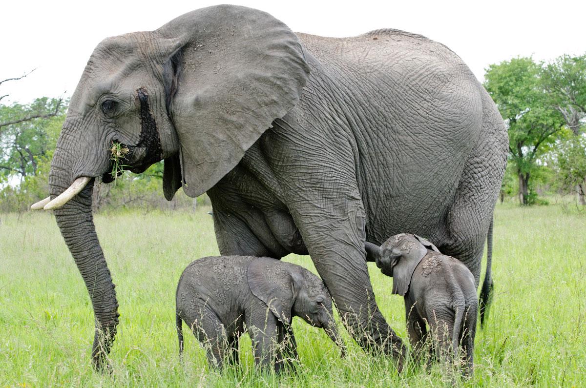 elephant twins while on sabi  Elephant