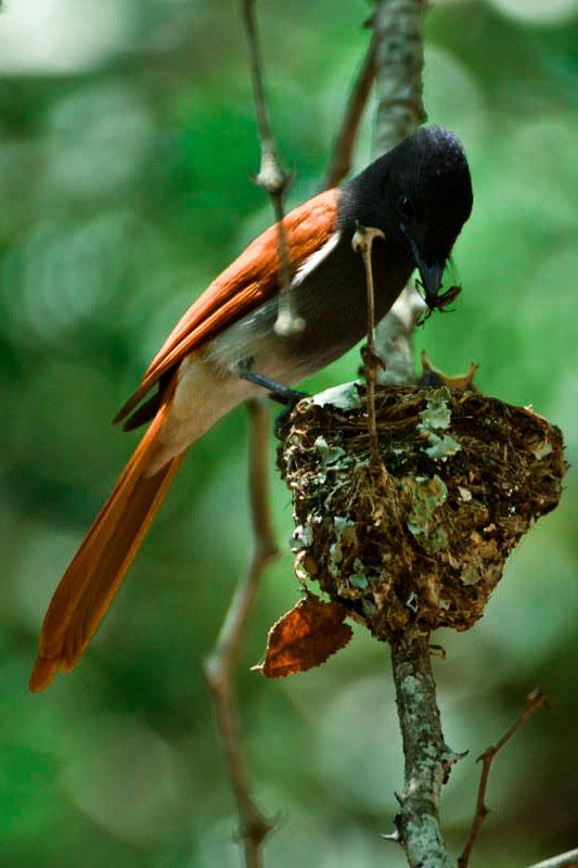 Paradise Flycatcher feeding chicks while on Sabi Sabi safari