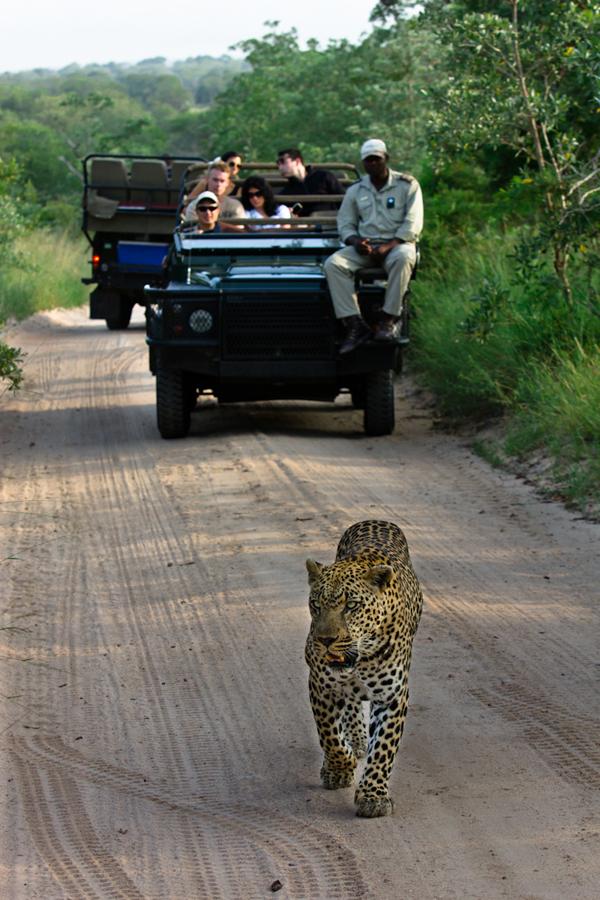 leopard walking in the road at Sabi Sabi Private game Reserve
