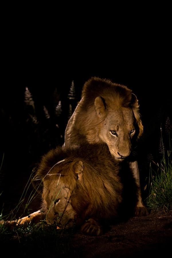 Sparta lions