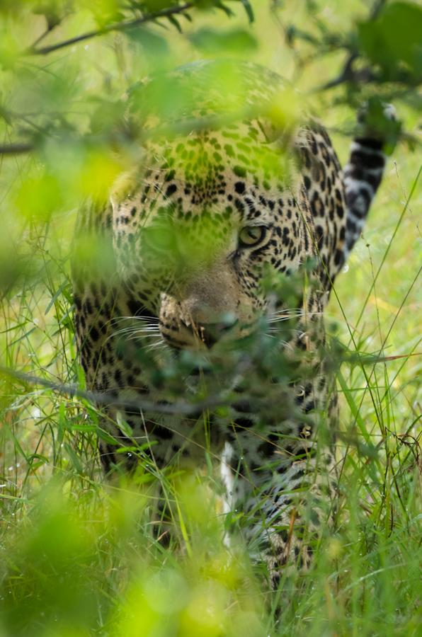 leopard at Sabi Sabi Private Game Reserve while on safari