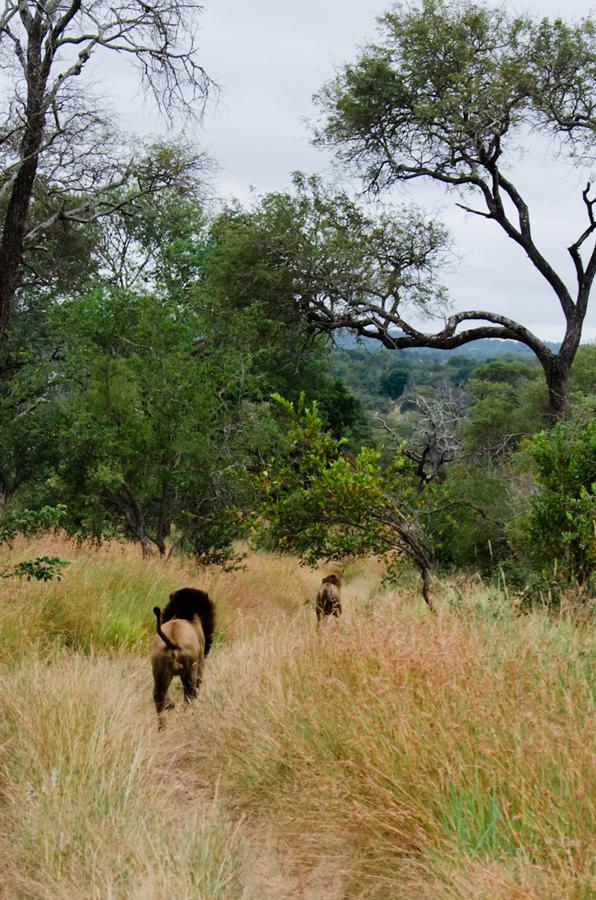 Kruger male chasing