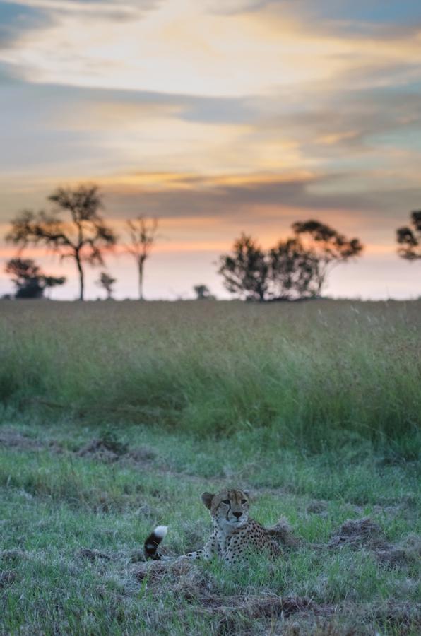 cheetah at sabi sabi private game reserve while on safari