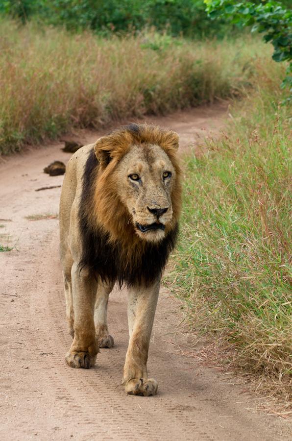 kruger male at sabi sabi luxury safari lodges