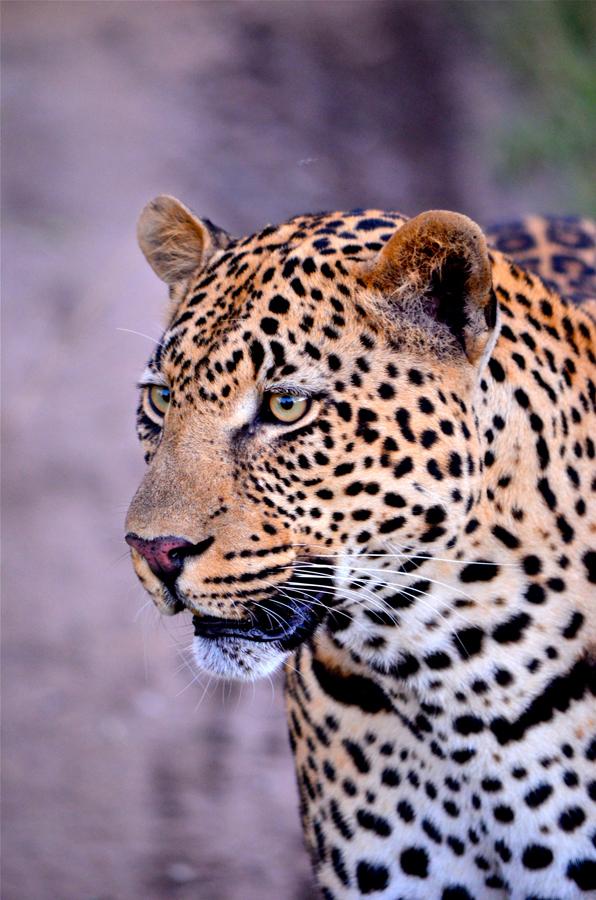 leopard safari sighting at Sabi Sabi Private Game Reserve