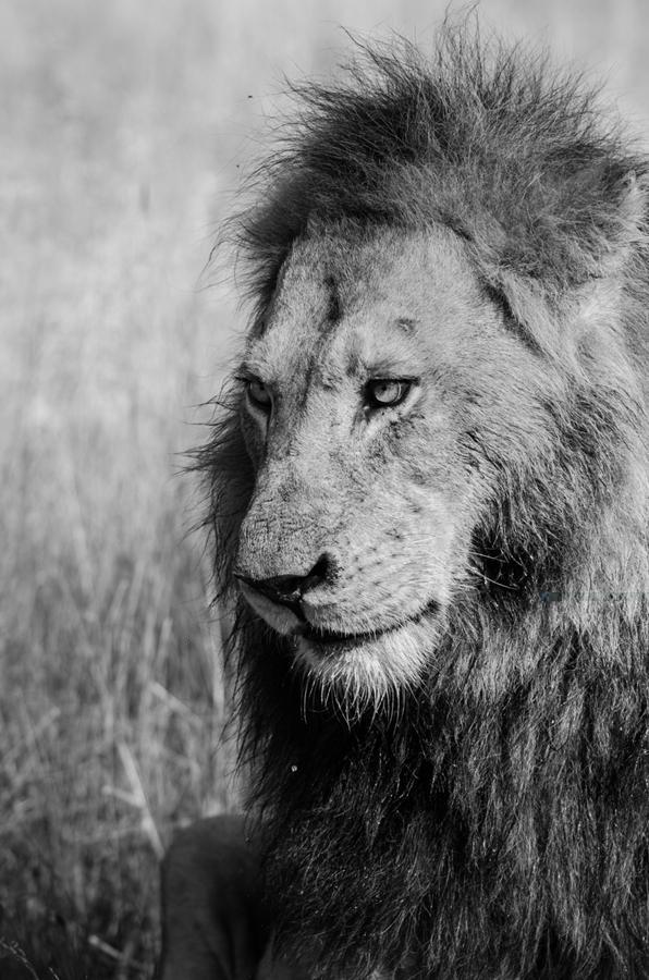 male lion at Sabi Sabi Luxury Safari Lodges