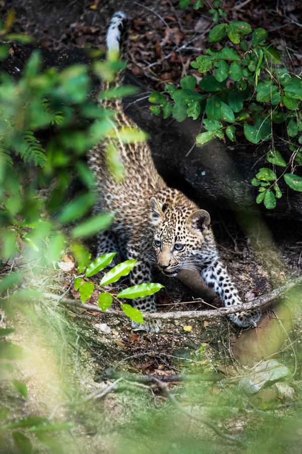 leopard cub while on safari at Sabi Sabi Luxury Safari Lodges