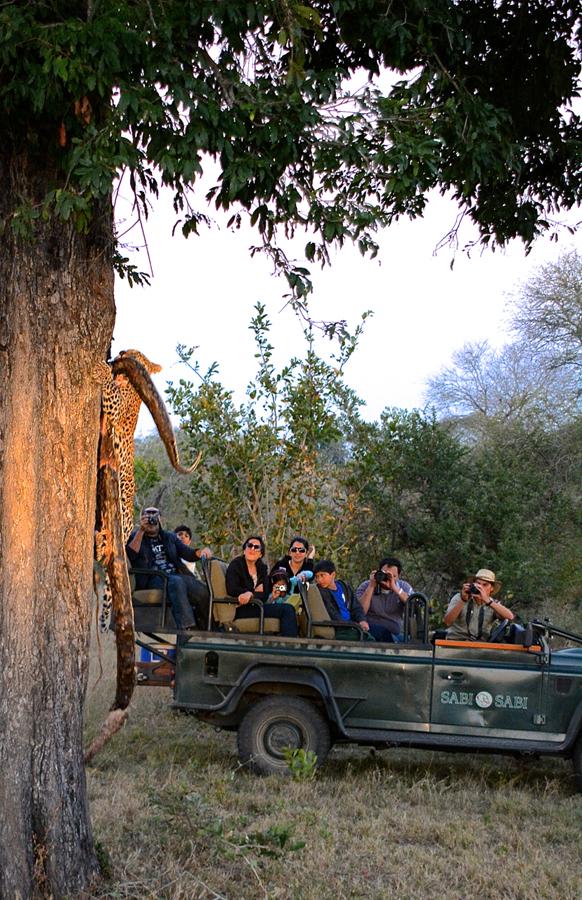 leopard taking a python up a tree while on safari at Sabi Sabi Luxury Safari Lodges