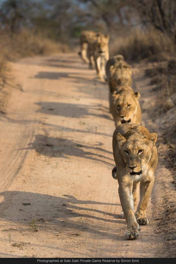 southern pride lions at Sabi Sabi Private Game Reserve