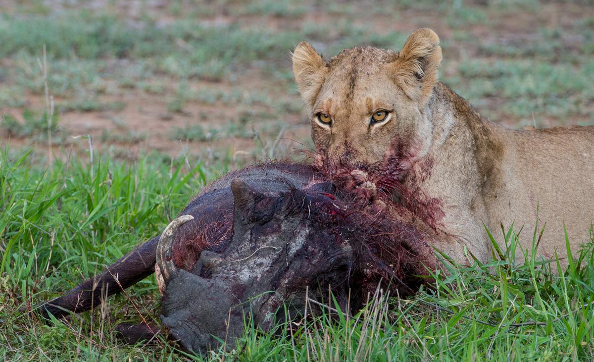 a valiant struggle sabi sabi private game reserve blog