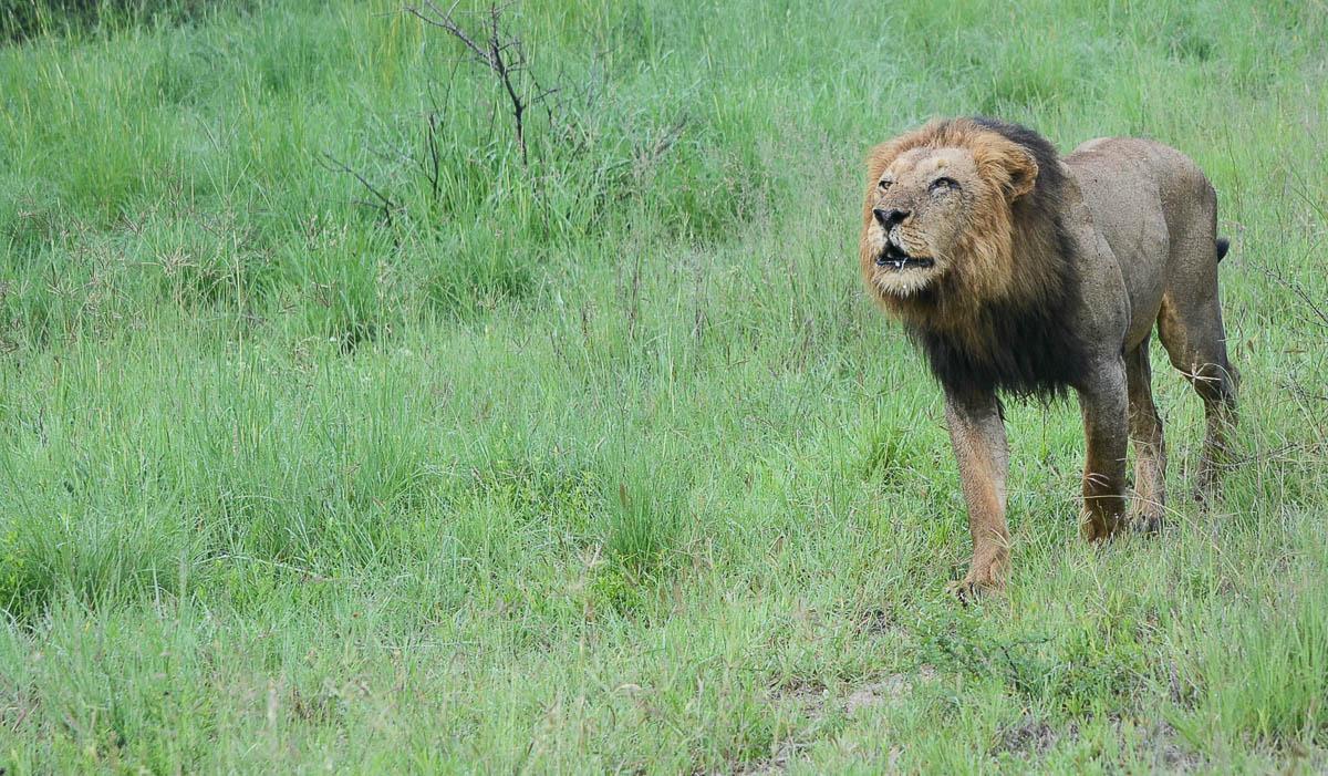lion warfare | Sabi Sabi Private Game Reserve Blog