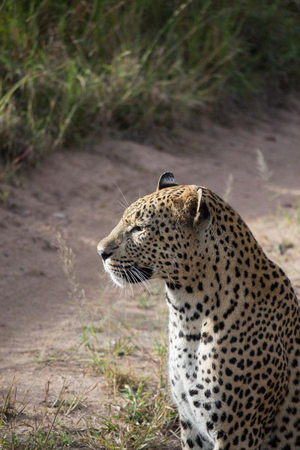 Maxabeni Leopard