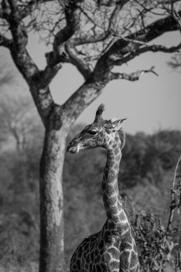 Young Giraffe BW