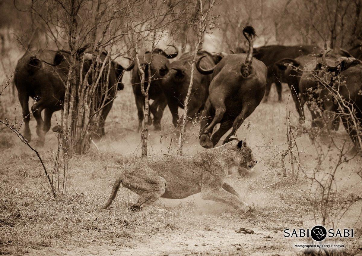 Lions vs Buffalo