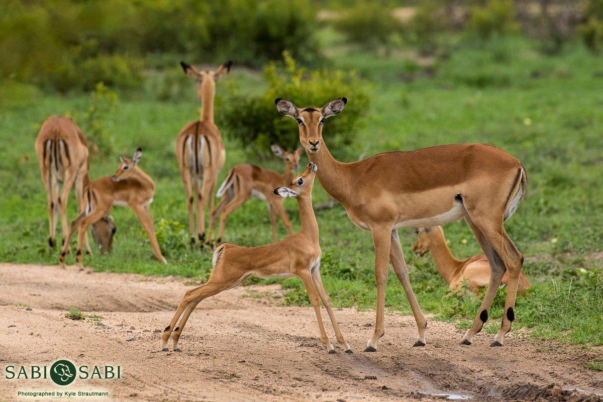 The Incredible Impala | Sabi Sabi Private Game Reserve Blog