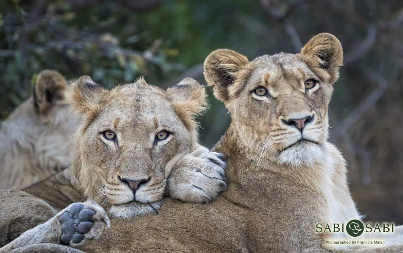 lions at sabi sabi private game reserve