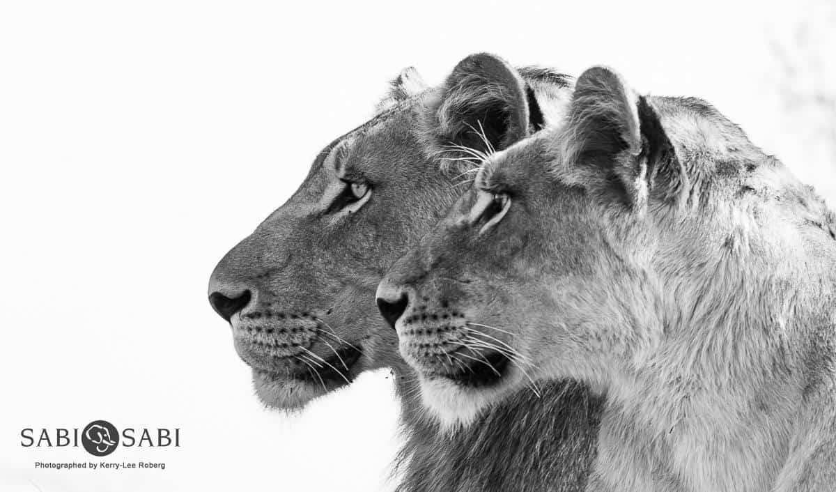 lions while on sabi sabi safari