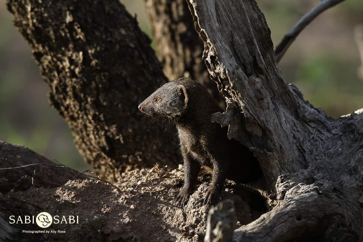 dwarf mongoose at sabi sabi private game reserve