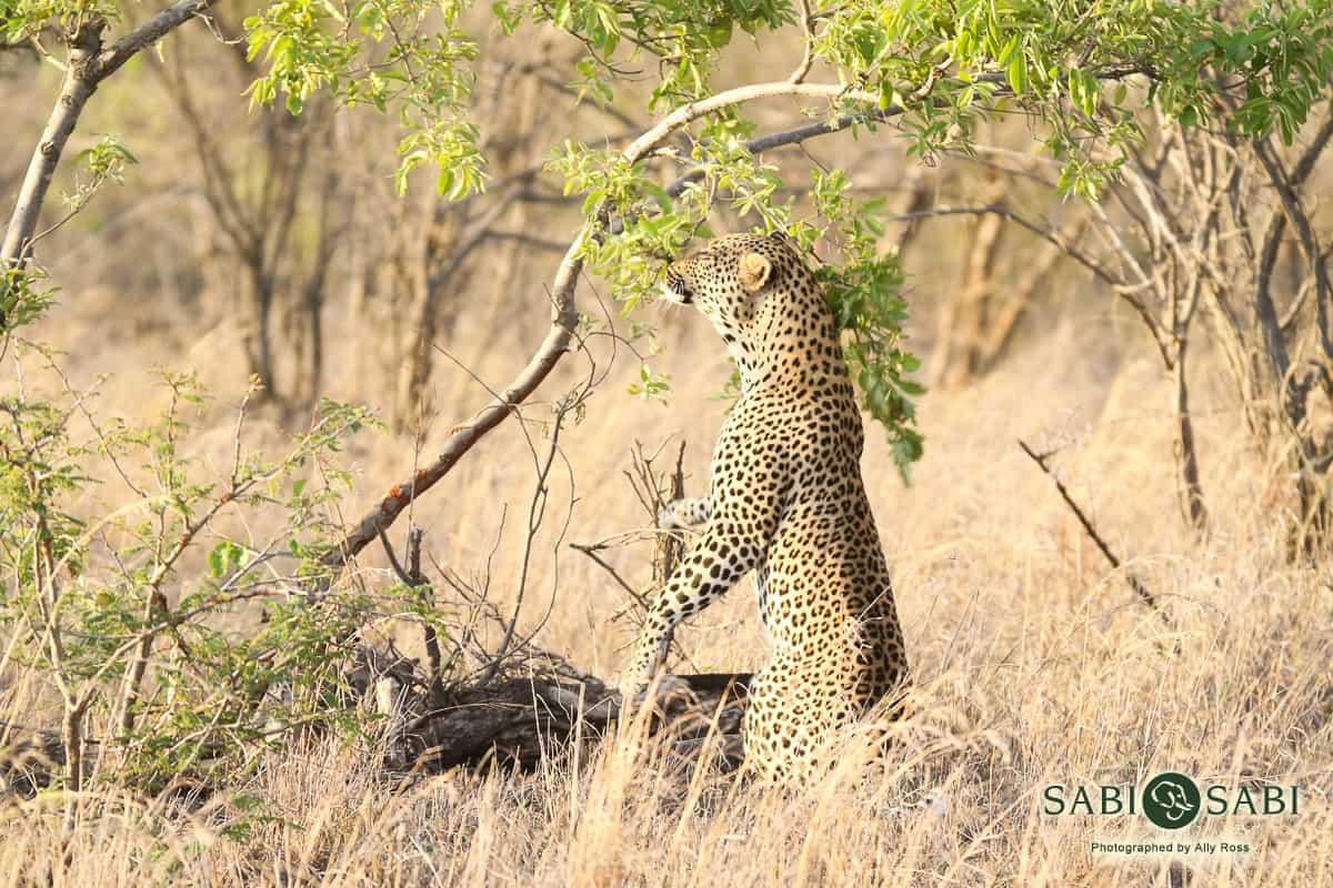 leopard sighting while on sabi sabi safari